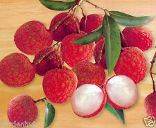 LYCHEE FRUIT - Tropical Litchi Seeds - Hybrid Fruit Seed - Pack Of 6 Seeds