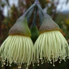 EUCALYPTUS sepulcralis Weeping Gum Seeds (E 117)