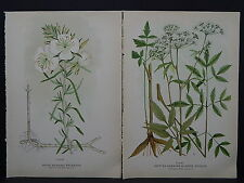 Canadian Farm Weeds c.1910 White Primrose Spotted Cowbane Two Prints S3#20