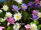 100 SEEDS MIXED WATER LILY POND PLANT NOT LOTUS