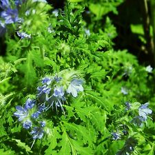 GREEN MANURE - PHACELIA T'FOLIA - multiples of 200 grams custom packed to order