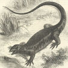 Nile Monitor Lizard: antique 1866 engraving print: animal nature picture drawing