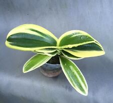 "PHALAENOPSIS SOGO YENLIN 'COFFEE'  RARE VARIEGATED MINIATURE ORCHID! IN 2"" POT"
