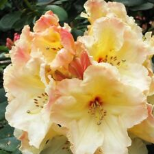 Rhododendron Horizon Monarch  - Two Gallon Plant  - Creamy Yellow Blooms!