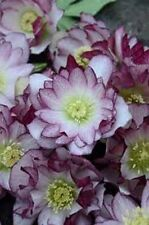 HELLEBORUS  BLUSHING BRIDE'S MAID   2YEAR OLD PLANT NEW 2016 SHIP SPRING