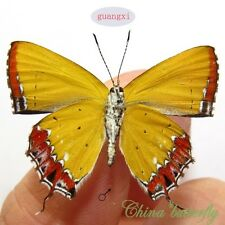 5 unmounted butterfly lycaenidae Heliophorus ila chinensis GUANGXI A1-  #3