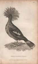 1808 ANTIQUE ORNOTHOLOGICAL PRINT - GEORGE SHAW- GREAT CROWNED PIGEON