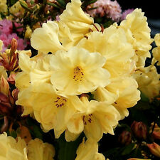 1 X RHODODENDRON 'GOLDEN WONDER' EVERGREEN BUSHY SHRUB HARDY GARDEN PLANT IN POT