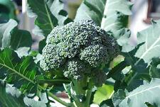Broccoli Seeds - ARCADIA - Dark Blue - Green - Non-GMO - Rare - 100+ Seeds