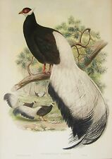 JOHN GOULD CROSSOPTILON AURITUM LITHOGRAPH PRINT BIRDS OF ASIA HAND COLORED BIRD