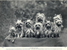 YORKSHIRE TERRIER CHARMING GROUP OF EIGHT LITTLE DOGS OLD 1934 DOG PRINT