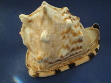 Seashells  King Helmet 205mm Large Cassis Tuberosa Shell