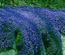 50+ AUBRIETA ROYAL BLUE ROCK CRESS FLOWER SEEDS / PERENNIAL / DEER RESISTANT