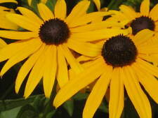 BLACK EYED SUSAN Rudbeckia Hirta Yellow Flower Seeds ( 10 seeds) F-032