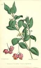 1863 árbol de eje común ~ Euonymus europseus botánico impresión