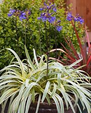 Variegated  Lily Of the Nile - 2 Plants - Ship Bare Root