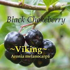 ~VIKING~ Aronia melanoca CHOKEBERRY Fruit Tree COLD HARDY to -30 °F Potd PLANT