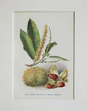 Sweet Chestnut Tree Nuts. - Mounted Antique Botanical Print, Colour Lithograph