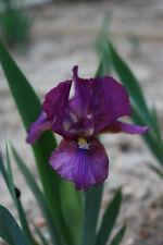 Ruby Elf (Willott 2004) Miniature Dwarf Bearded (MDB) Iris - 1 Rhizome
