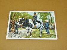 PHOTO CHOCOLAT COTE D'OR 1940 FOLKLORE BELGIQUE N°77 BRASSCHAET COURSE BOEUFS