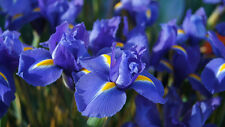 Winter Flower bulb - Iris Bulb Blue Colour - 5 bulb