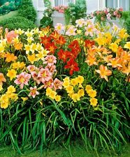 3 Daylily,Night Whispers Mix, re-blooming throughout the season. PLANT Root