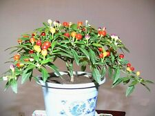 50Pcs Rare Colorful Chilli Ornamental Edible Tasty Hot Pepper Seeds Pot Plant UK