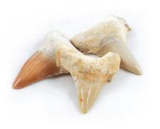 Single Shark Teeth