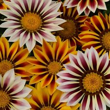 Pack Flower Seeds Gazania New Day Tiger Stripes Kings Garden Seed