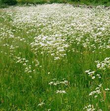 Wildflower Seeds - Cow Parsley - 250 Seeds