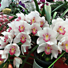 Orchid Acanthephippium Flower 36 Seeds Species (Type T25) Real Seeds