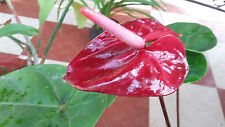 Anthurium Plant a Healthy house plant Dark Red Color