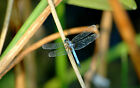 Framed Print - Blue Dragonfly (Picture Flying Insect Bug Beetle Bee Moth Art)