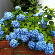 50PCS Blue Hydrangea Flower Seeds Wedding Geranium Pelargonium Garden Plant