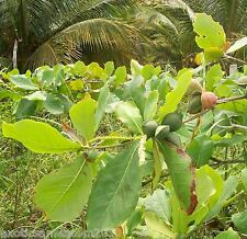 Seemandelbaum Terminalia Catappa 10 Samen