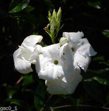 Mandevilla laxa/Dipladenia suaveolens, Chilean Jasmine perfum. 8 seeds semillas
