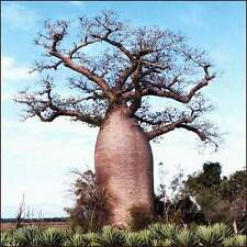 ***100 seeds ADANSONIA DIGITATA*BAOBAB*DEAD RAT TREE***FREE SHIPPING***