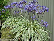 New Agapanthus Gold Strike ® variegated leaves garden perennial plant