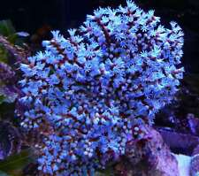 Blueberry Gorgonian 2 to 3 inch Cultured Live Coral Reef, FedEx Air Shipping