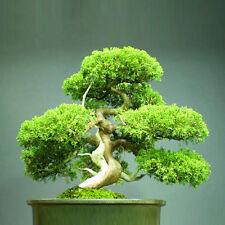 New Chinese Juniper Bonsai Tree - Juniperus chinensis - 20 Fresh Seeds
