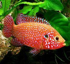 Jewel Cichlid Hemichromis bimaculatus 5 cm Tropical Fish