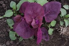 Triple Purple Orach,Passion Spinach,Mountain Spinach,French Spinach, 300 Seeds !