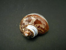 """One (1) Banded Tapestry Turbo Shell 2 1/2""""-3""""  Crafts Hermit Crab"""