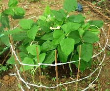 20 SWEET YARD LONG BEAN STINGLESS EASY GROW BLACK SEED HEIRLOOM NON GMO ORGANIC