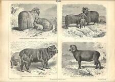 Stampa antica PECORE SHEEPS Merino e altre razze 1890 Old antique print