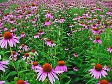 500 Echinacea Seeds - Purple Coneflower (Echinacea purpurea)  Flowers Seeds