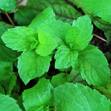 500pcs Spearmint Mint Mentha Herb Aromatic Spices Plant  Green Flower Seedshs