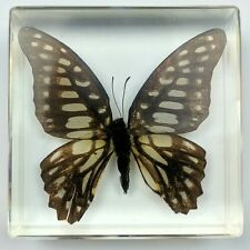 Taxidermy Real Butterfly  in Lucite or Resin Insect Bug Paper Weight