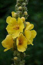 Großblütige Königskerze - 250 Samen - Verbascum densifl.  Zier und Heilpflanze
