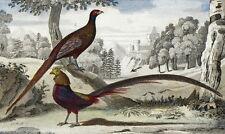 Gallinacés Faisan Doré Oiseaux Cuvier - Buffon gravure originale 19e